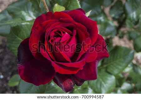 Red rose, love symbol roses, red roses for lovers day, natural roses in the garden