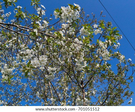 Cherry tree blooming at spring #701051512