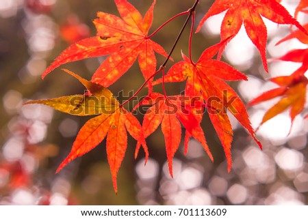 Fall Color Maple Leaves at the Forest in Kochi, Japan #701113609