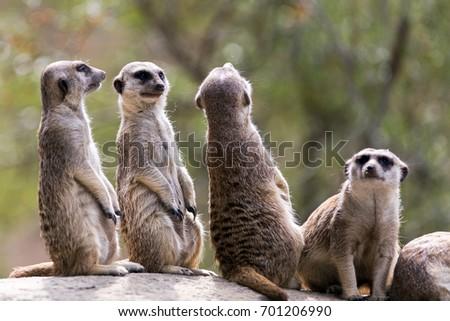 Outdoor meerkats #701206990
