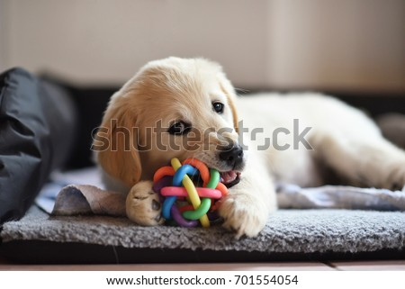 Golden retriever dog puppy playing with toy while lying on den #701554054