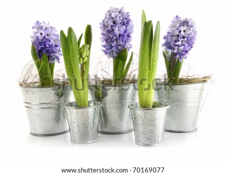 Purple hyacinth in aluminum pots on white #70169077