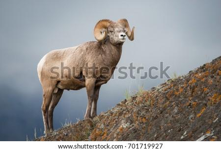 Bighorn ram in Jasper #701719927