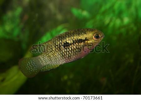 Red dots cichlid (Laetacara dorsigera) - Female #70173661