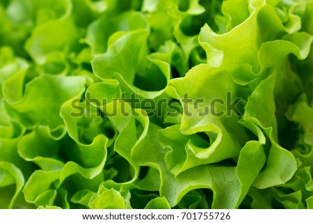 Lettuce close up background. Green lettuce texture #701755726