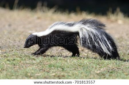 Western Striped Skunk #701813557