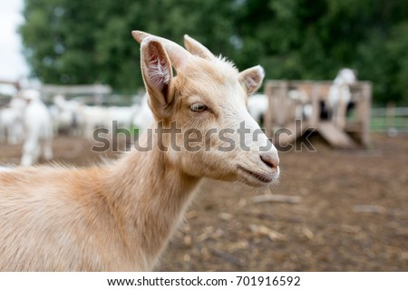 Goat on the farm #701916592