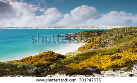 Beautiful white sand beach and turquoise water of Gypsy Cove on East Falkland in Falkland Islands. Land mine area from Falklands War. Yellow gorse flowers. #701947075
