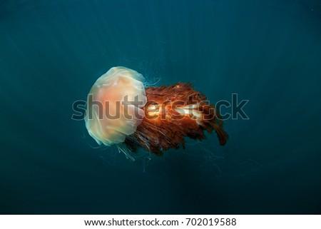 lion's mane jellyfish, cyanea capillata, Coll island, Scotland Royalty-Free Stock Photo #702019588