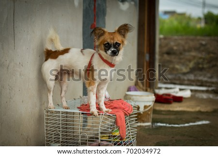 Chihuahua dog was tied in front of the room. #702034972
