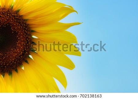 Half a sunflowers,Thailand.On a background blue sky. #702138163