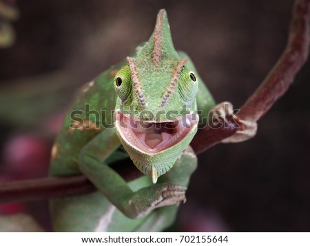 Green chameleon hunting. Portrait of an exotic animal. Macro #702155644