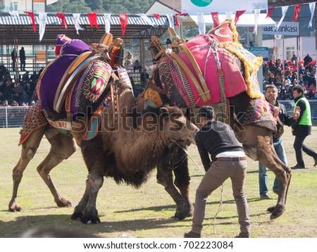 Camel wrestling in Kumluca , Antalya, Turkey 24/01/2016 #702223084