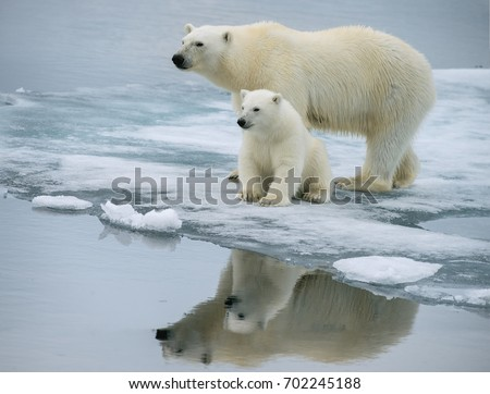 polar bear sow and pose together on ice floe in norwegian arctic waters, with nice reflection #702245188