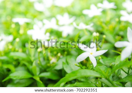 White Gardenia flowers in front and blurred background view. #702292351