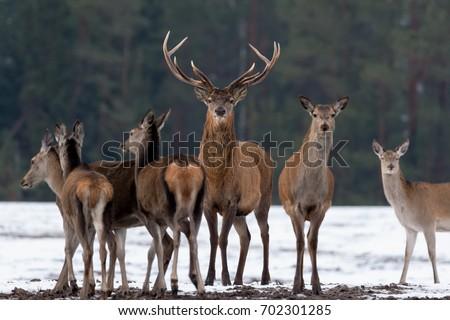 Adult Great Deer (Cervus Elaphus), Dedicated Depth Of Focus, Surrounded By Herd. Noble Red Deer, Standing In Belorussian Forest. Portrait Of Deer Stag,While Looking At You In Winter Time. Belarus #702301285