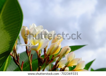 Beautiful yellow flowers With green leaf bush.Beautiful white and yellow flowers in a bouquet of green leaves.White and yellow flowers with green background.   #702369331