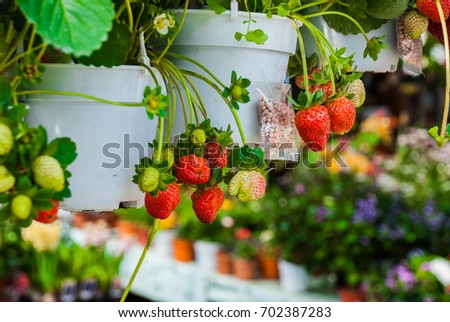 Flowers and strawberries in pots. Flowers at the farmers ' market in Malaysia. Sabah Borneo #702387283