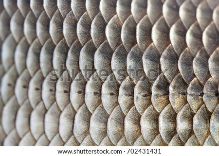 Fish scales skin textured pattern photo. Macro view Crucian carp Carassius scaly with Lateral line. Selective focus, shallow depth field.  #702431431