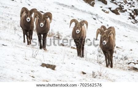 Bighorn  #702562576