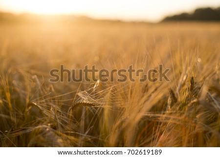 Rye grain harvest on rye field. #702619189