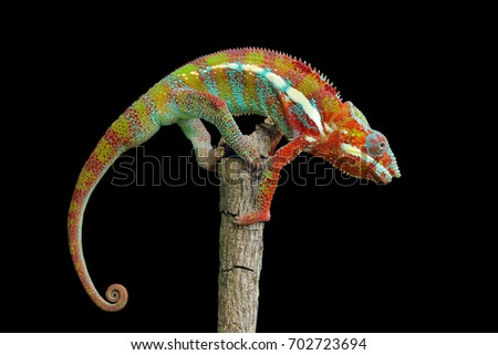 Close up portrait of isolated Chameleon. Climbing clinging on a stick at night #702723694