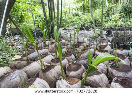 coconut plant #702772828