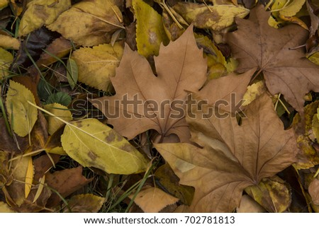 Colorful autumn leaves, fallen leaves in autumn forest at sunny weather, abstract background of autumn leaves, autumn background, maple leaves #702781813