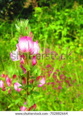 flowers of spiny restharrow, Ononis spinosa, #702882664