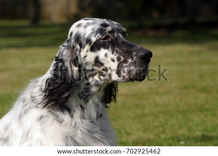 Portrait of an English Setter dog in outdoors. #702925462