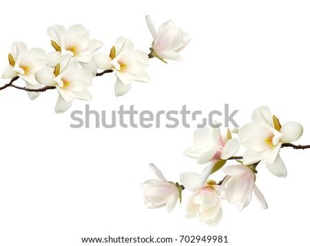 Beautiful magnolia flower bouquet isolated on white background.