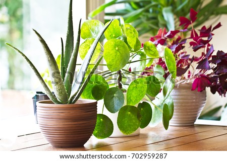 House plants display. Indoor plants in window Royalty-Free Stock Photo #702959287
