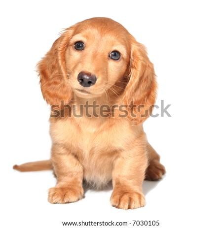 Miniature dachshund puppy #7030105
