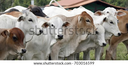 Cattle for meat production in pasture in the Sao Paulo State, in Brazil #703016599