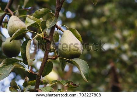 pear tree #703227808