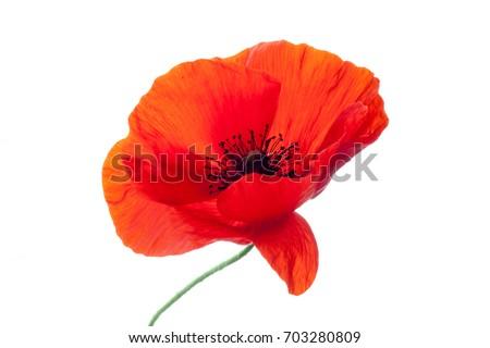 wonderful poppy flower. petals closeup #703280809