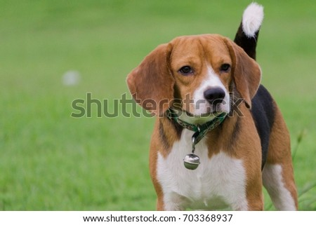 Beagle dog stand on the lawn. #703368937