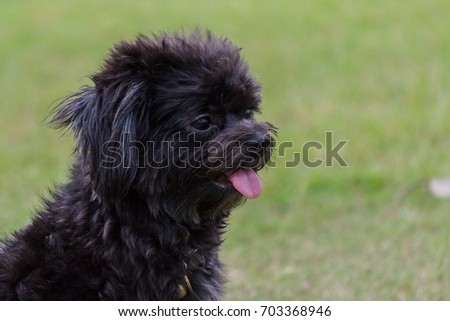 Poodle dog sitting and tongue sticking on the lawn. #703368946