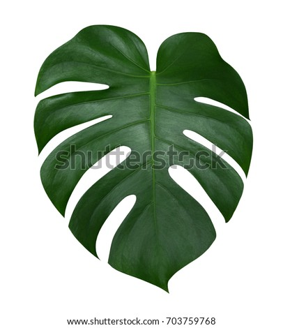 Monstera plant  leaf, the tropical evergreen vine isolated on white background, clipping path included Royalty-Free Stock Photo #703759768