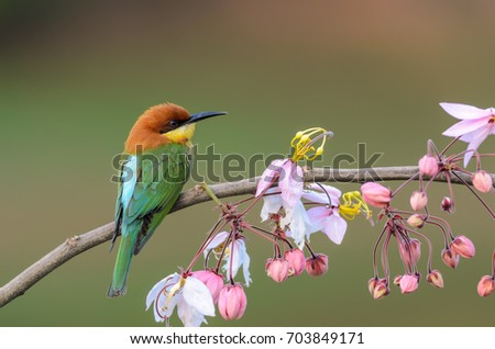Chestnut-headed Bee-eater or Merops leschenaulti, beautiful bird on branch with colorful background. #703849171