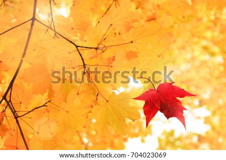 Single bright red dry maple leaf falling down from golden tree viewed upwards. Golden autumn time background #704023069