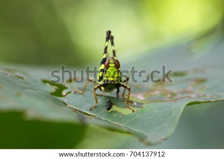 Image of Conjoined Spot Monkey-grasshopper (male), Erianthus serratus on green leaves. Insect Animal #704137912