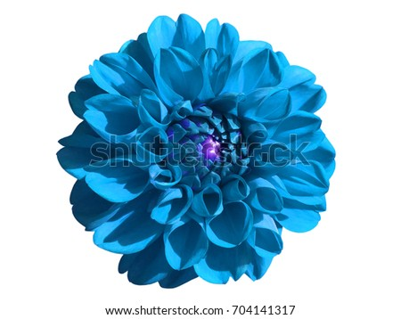 Blue aster dahlia flower. Isolated on white background. Pink fall flowers bud plant collection. Beautiful nature design element. Close-up.