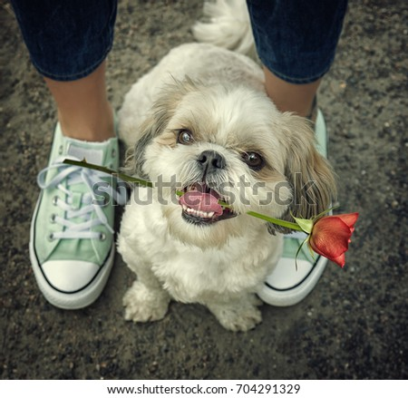 Cute shitzu dog with rose next to the owner -- walking together. Toned picture