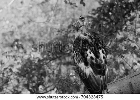 Grayscale Eagle - Sri Lanka #704328475