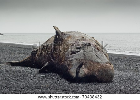 Picture of Bottlenose whale (Hyperoodon ampullatus) beached on an icelandic beach