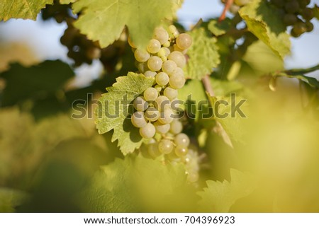 Vine grapes in vineyard in south Poland, Jas?o #704396923