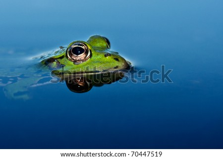 Edible frog watching from the bog #70447519