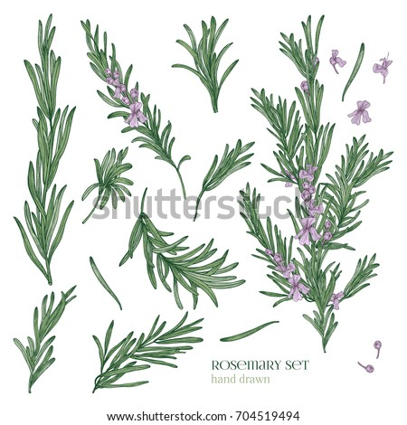 Collection of elegant drawings of rosemary plants with flowers isolated on white background. Fragrant herb hand drawn in retro style. View from different angles. Botanical vector illustration. Royalty-Free Stock Photo #704519494