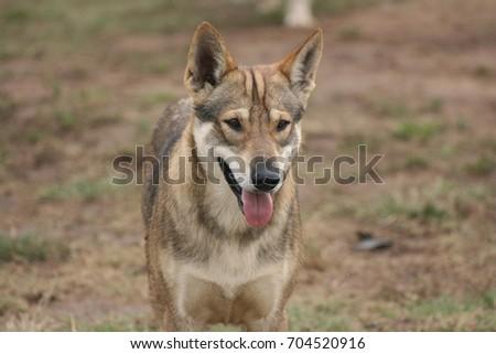 Wolf #704520916